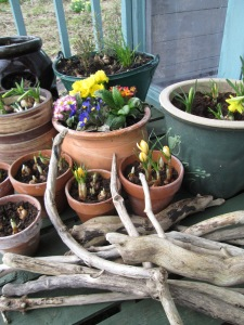 spring bulbs on the deck of my studio.