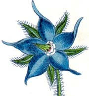 cropped-borage_flower.jpg