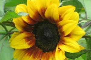 cropped-sunflower.jpg
